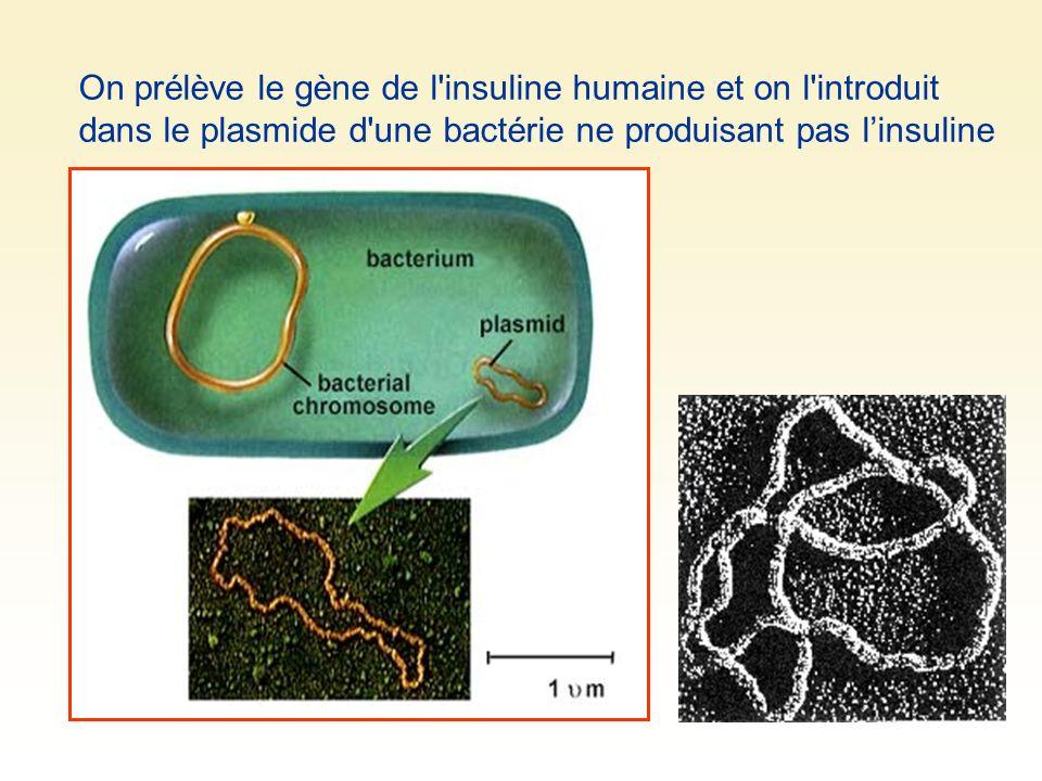 On prélève le gène de l insuline humaine et on l introduit dans le plasmide d une bactérie ne produisant pas l'insuline