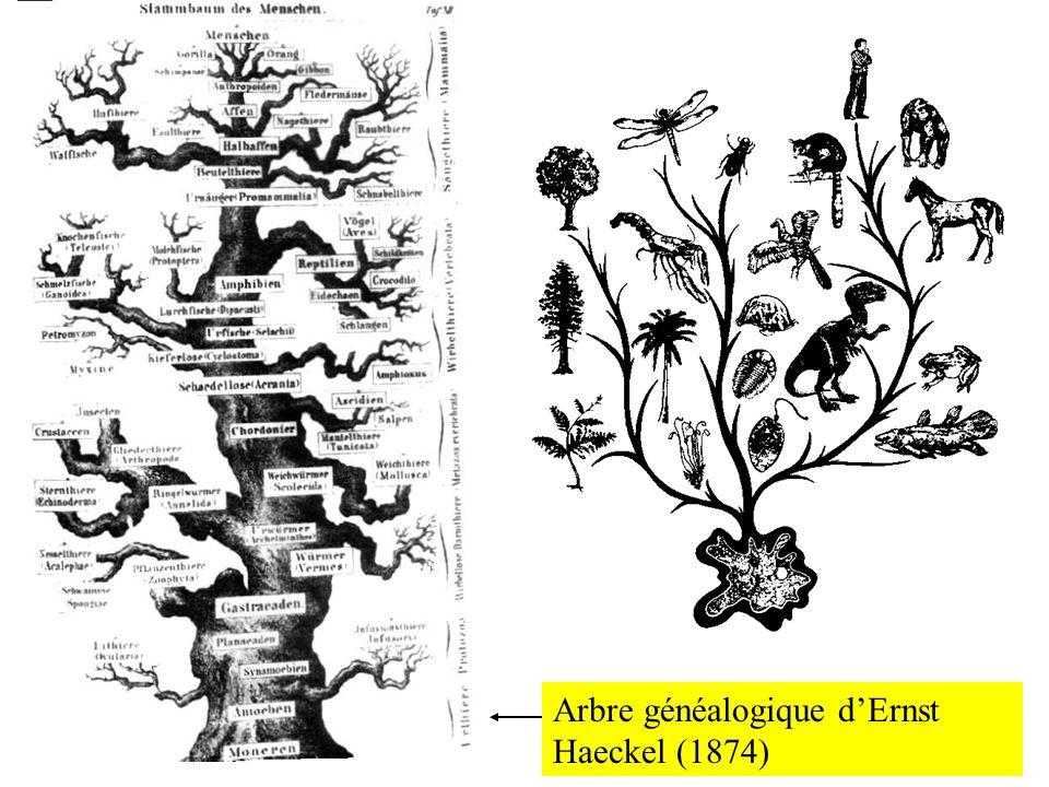 Arbre généalogique d'Ernst Haeckel (1874)