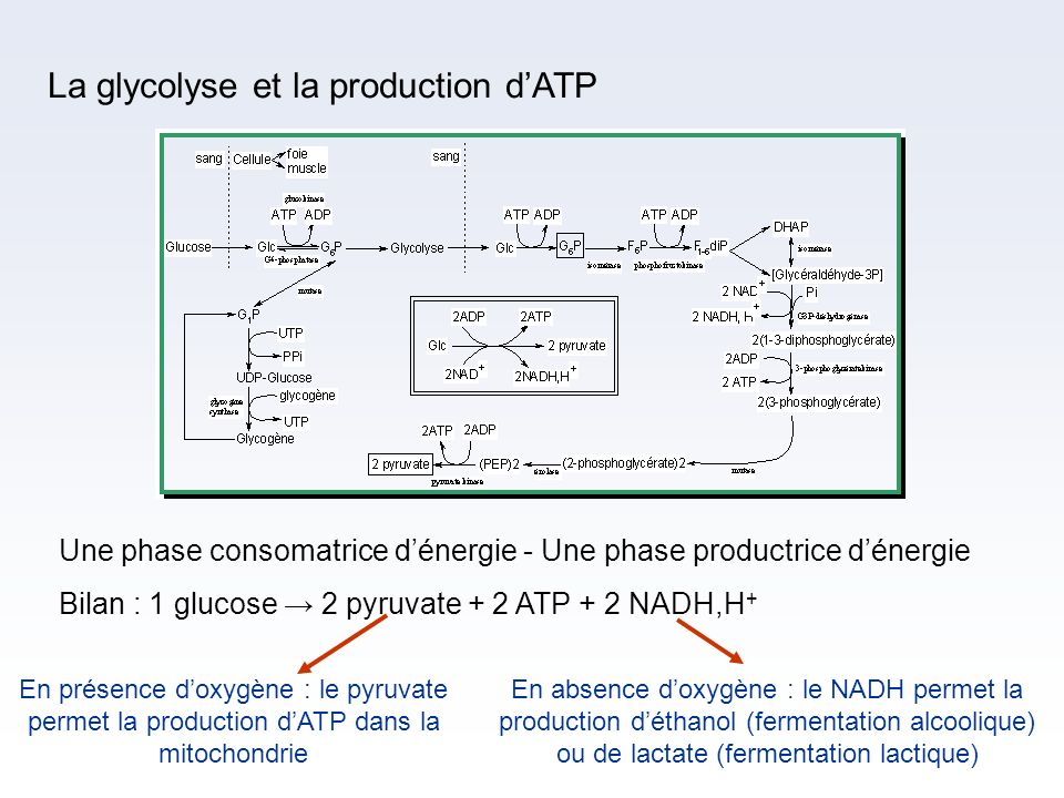 La glycolyse et la production d'ATP