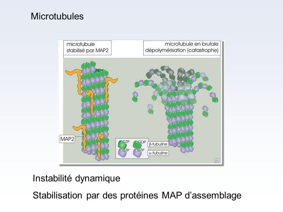 Microtubules Instabilité dynamique Stabilisation par des protéines MAP d'assemblage