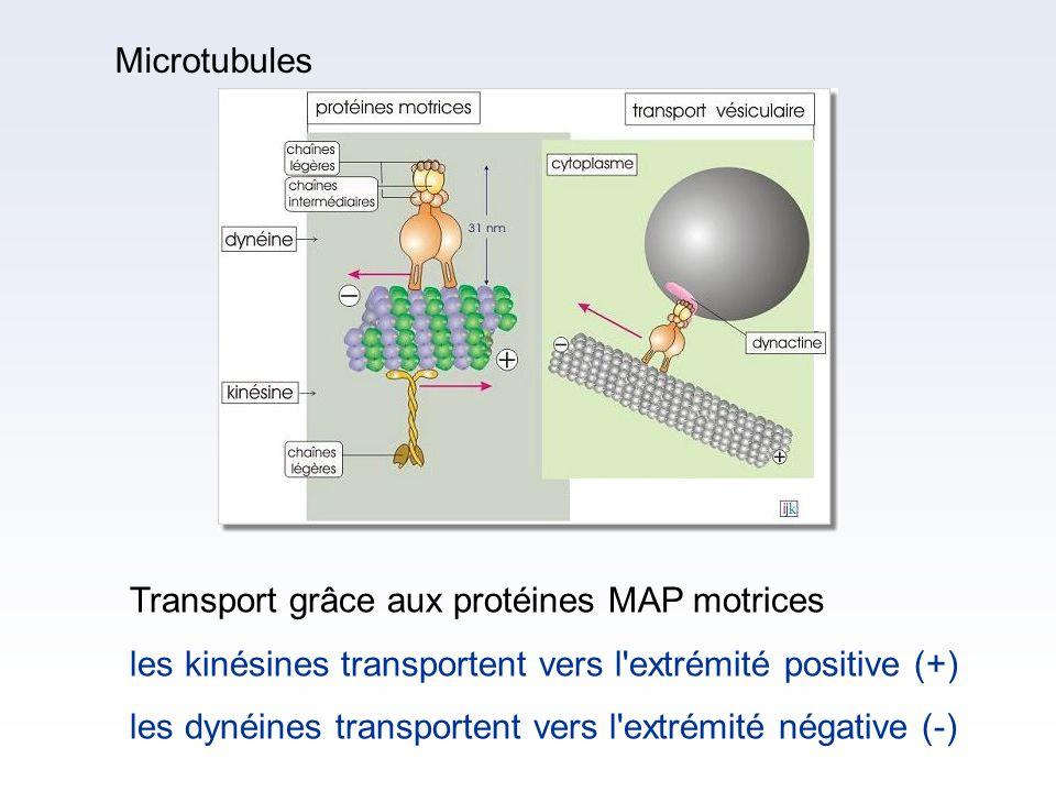 Microtubules Transport grâce aux protéines MAP motrices. les kinésines transportent vers l extrémité positive (+)