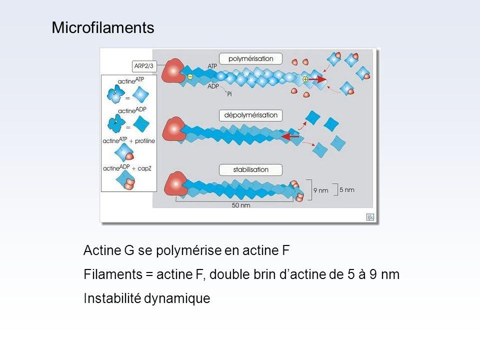 Microfilaments Actine G se polymérise en actine F. Filaments = actine F, double brin d'actine de 5 à 9 nm.