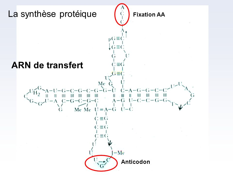 Fixation AA La synthèse protéique ARN de transfert Anticodon