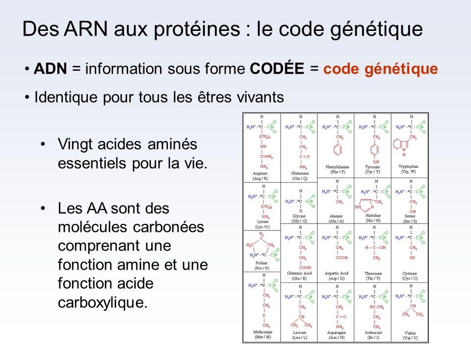 Des ARN aux protéines : le code génétique