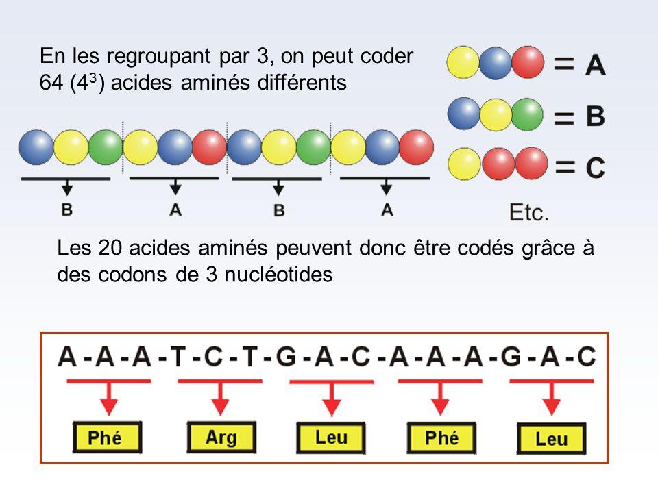 En les regroupant par 3, on peut coder 64 (43) acides aminés différents
