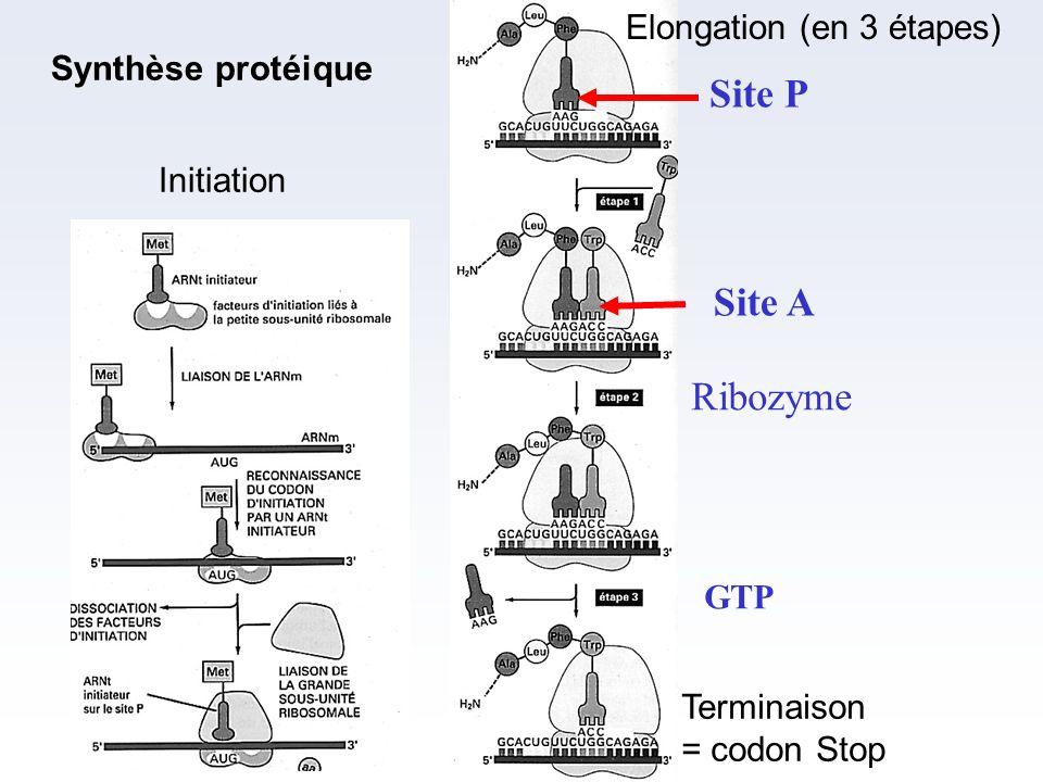 Site P Site A Ribozyme Elongation (en 3 étapes) Synthèse protéique