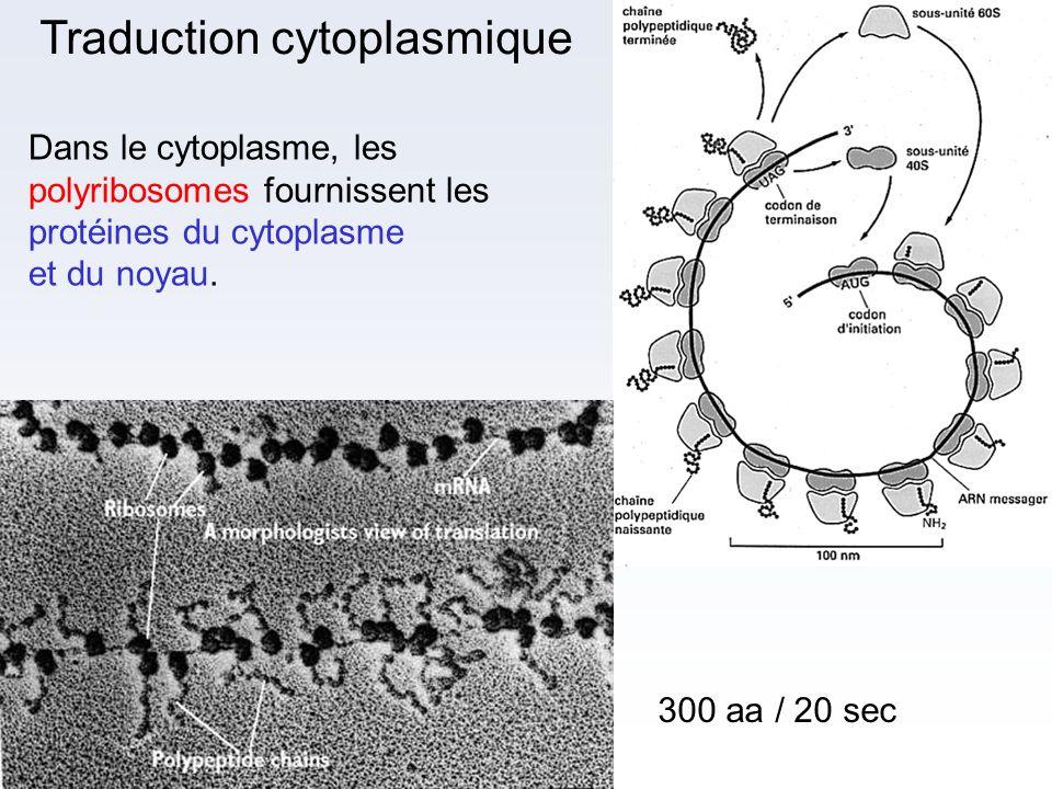 Traduction cytoplasmique