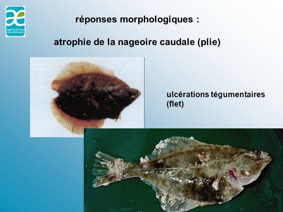 réponses morphologiques : atrophie de la nageoire caudale (plie)
