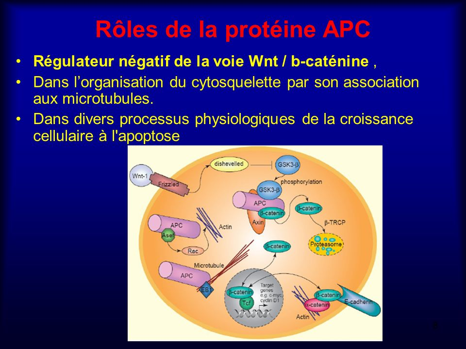 Rôles de la protéine APC