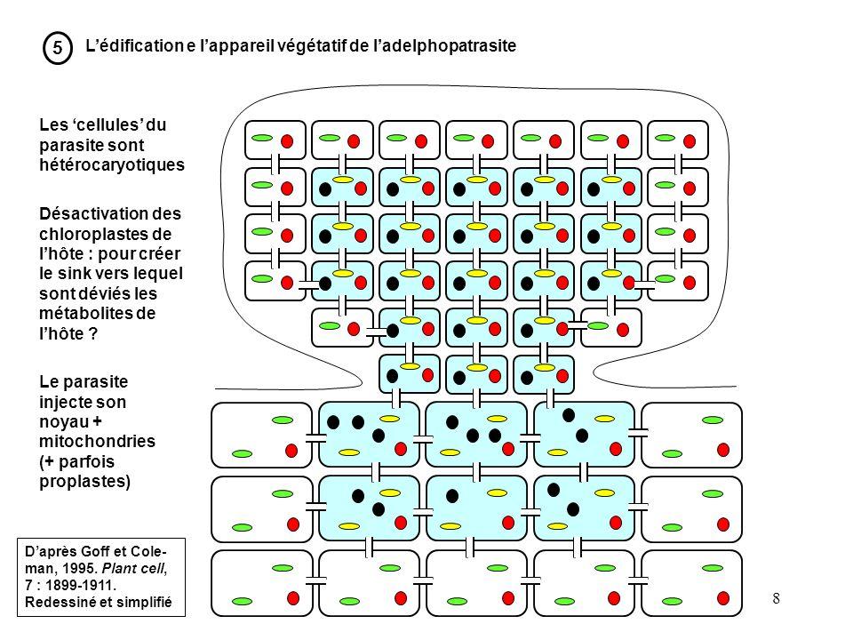 5 L'édification e l'appareil végétatif de l'adelphopatrasite