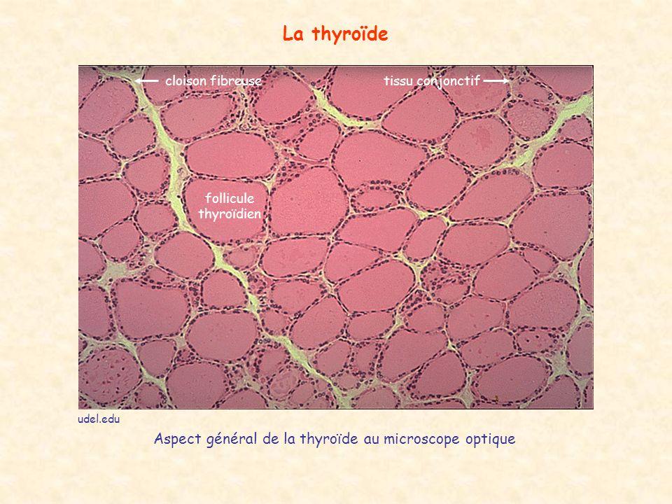 La thyroïde Aspect général de la thyroïde au microscope optique