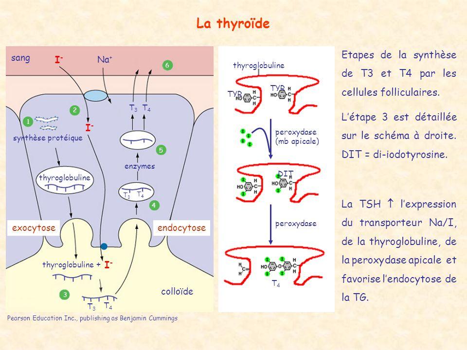 La thyroïde Etapes de la synthèse de T3 et T4 par les cellules folliculaires. L'étape 3 est détaillée sur le schéma à droite. DIT = di-iodotyrosine.