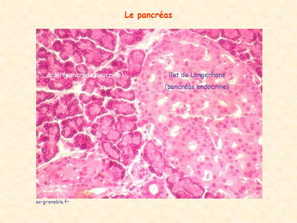 Le pancréas acini (pancréas exocrine)