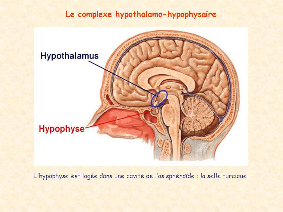 Le complexe hypothalamo-hypophysaire