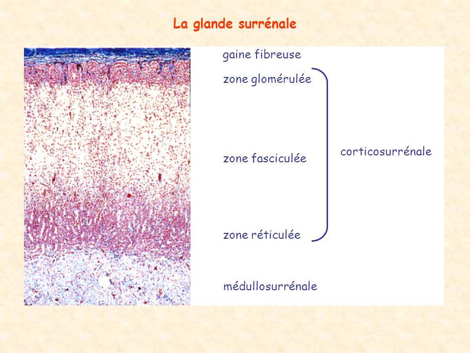 La glande surrénale gaine fibreuse zone glomérulée corticosurrénale