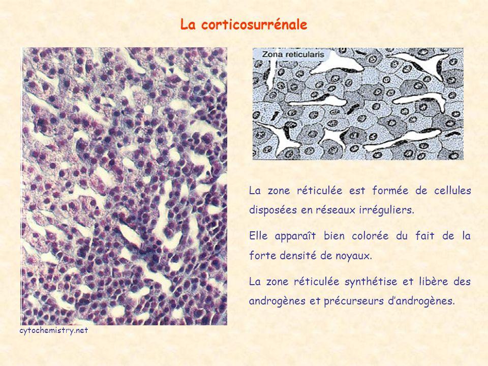 La corticosurrénale La zone réticulée est formée de cellules disposées en réseaux irréguliers.