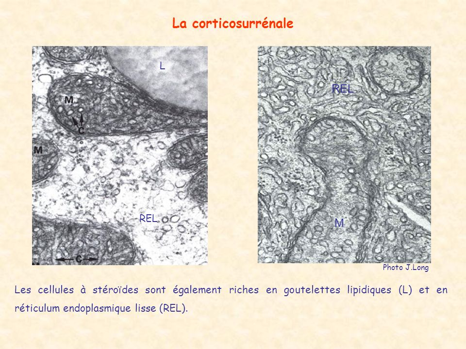 La corticosurrénale REL M L REL