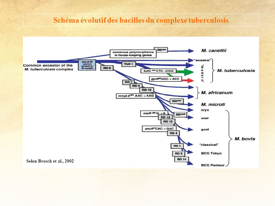 Schéma évolutif des bacilles du complexe tuberculosis
