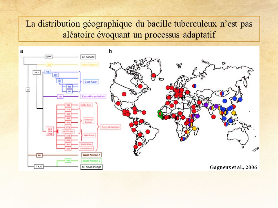 La distribution géographique du bacille tuberculeux n'est pas aléatoire évoquant un processus adaptatif