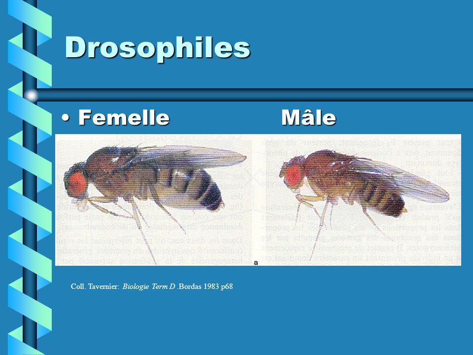 Drosophiles Femelle Mâle