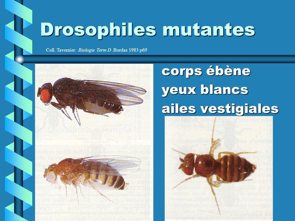 Drosophiles mutantes corps ébène yeux blancs ailes vestigiales