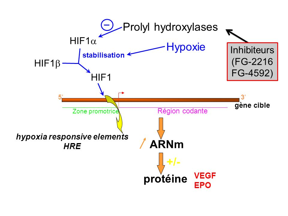 hypoxia responsive elements