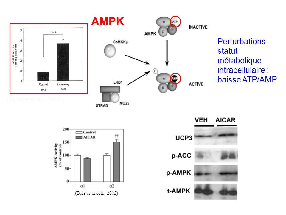 AMPK Perturbations statut métabolique intracellulaire : baisse ATP/AMP