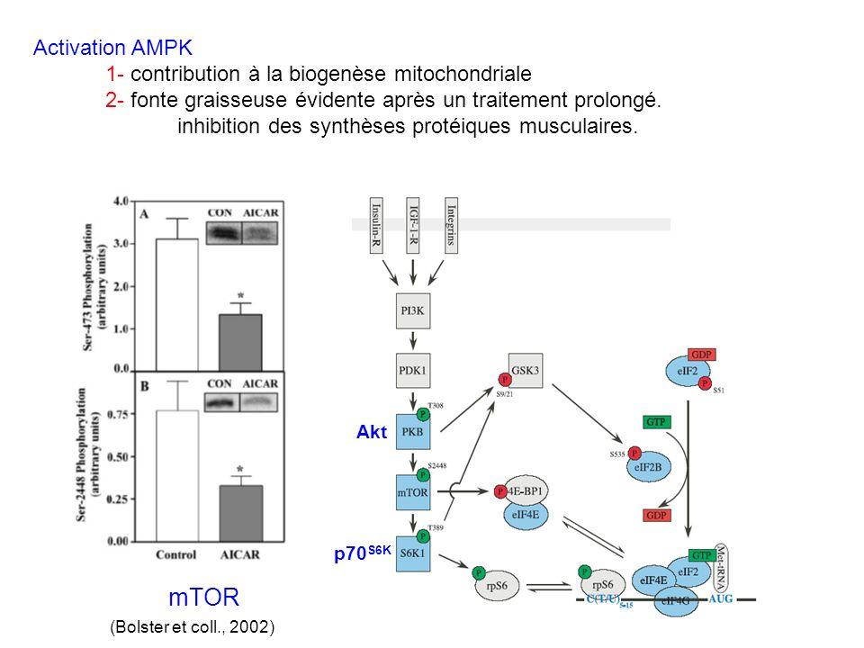 mTOR Activation AMPK 1- contribution à la biogenèse mitochondriale