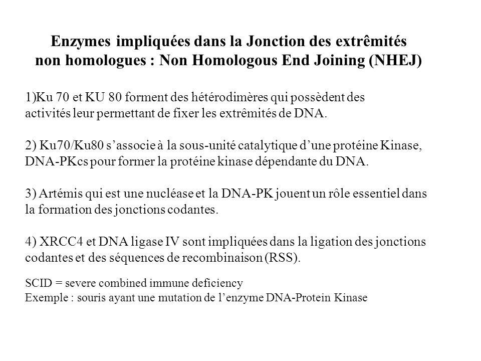 Enzymes impliquées dans la Jonction des extrêmités