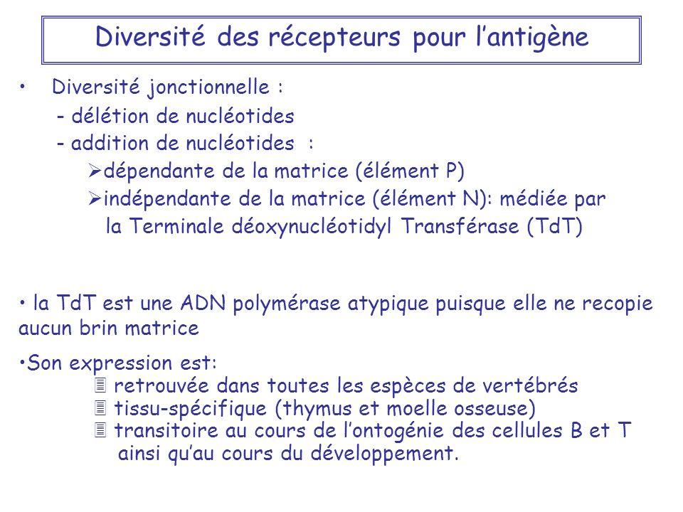 Diversité des récepteurs pour l'antigène