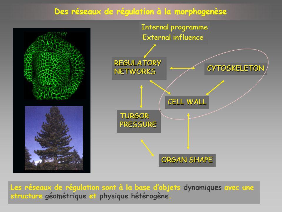 Des réseaux de régulation à la morphogenèse