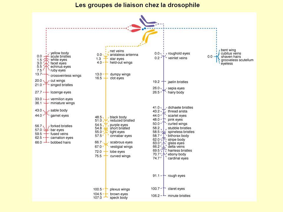 Les groupes de liaison chez la drosophile
