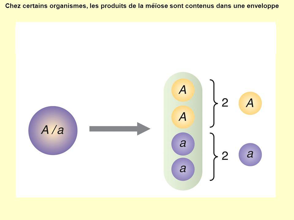 Chez certains organismes, les produits de la méïose sont contenus dans une enveloppe
