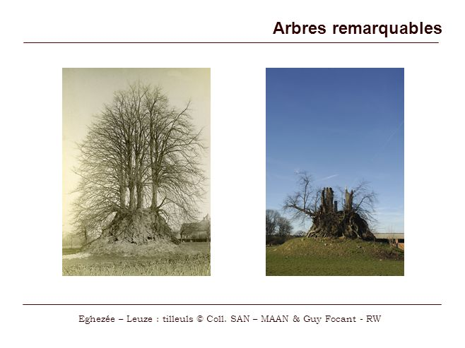Arbres remarquables Eghezée – Leuze : tilleuls © Coll. SAN – MAAN & Guy Focant - RW