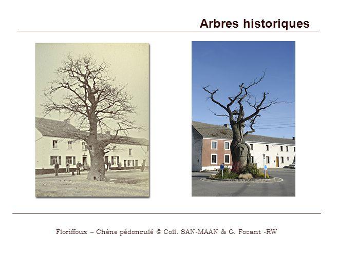 Floriffoux – Chêne pédonculé © Coll. SAN-MAAN & G. Focant -RW