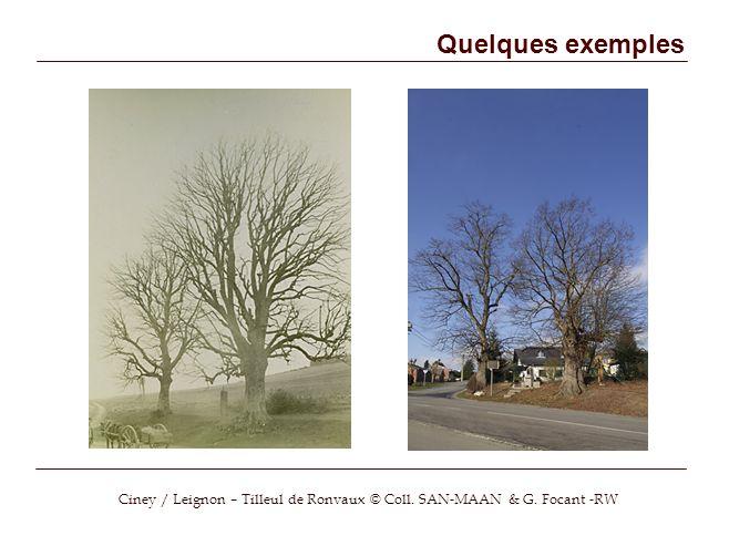 Ciney / Leignon – Tilleul de Ronvaux © Coll. SAN-MAAN & G. Focant -RW