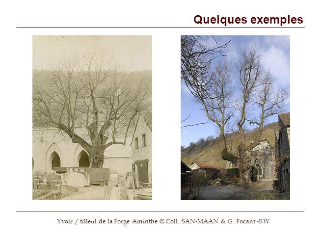 Yvoir / tilleul de la Forge Aminthe © Coll. SAN-MAAN & G. Focant -RW