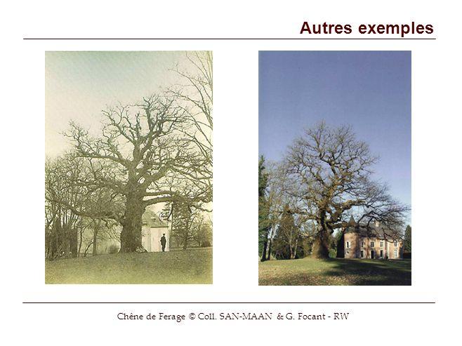 Chêne de Ferage © Coll. SAN-MAAN & G. Focant - RW