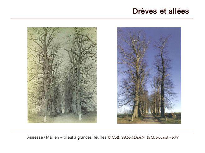 Drèves et allées Assesse / Maillen – tilleul à grandes feuilles © Coll. SAN-MAAN & G. Focant - RW