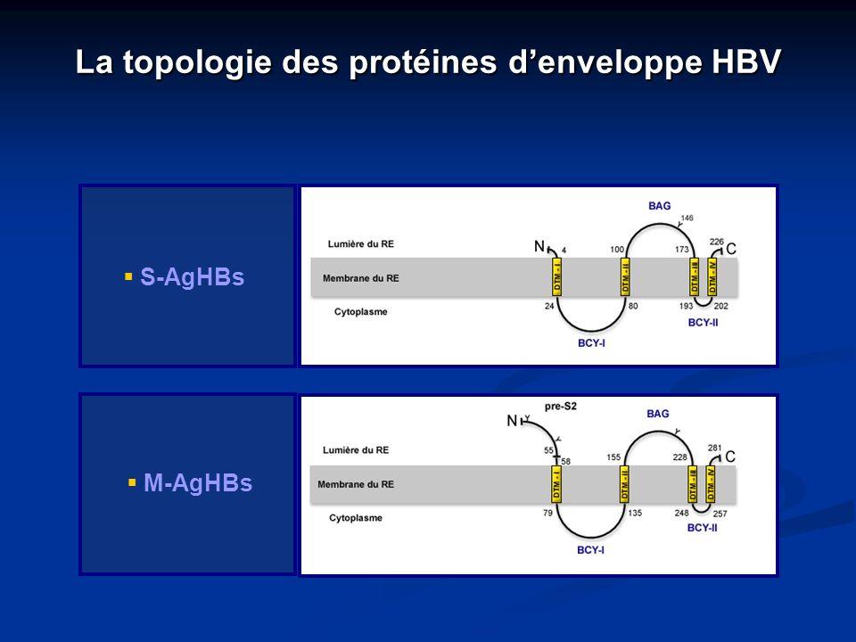 La topologie des protéines d'enveloppe HBV