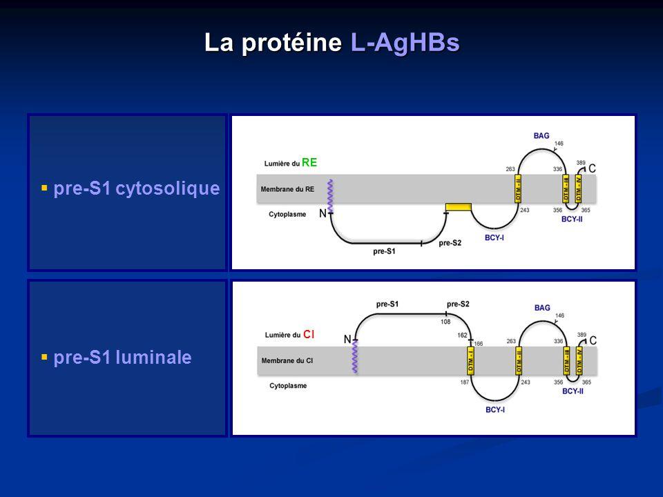 La protéine L-AgHBs pre-S1 cytosolique pre-S1 luminale RE