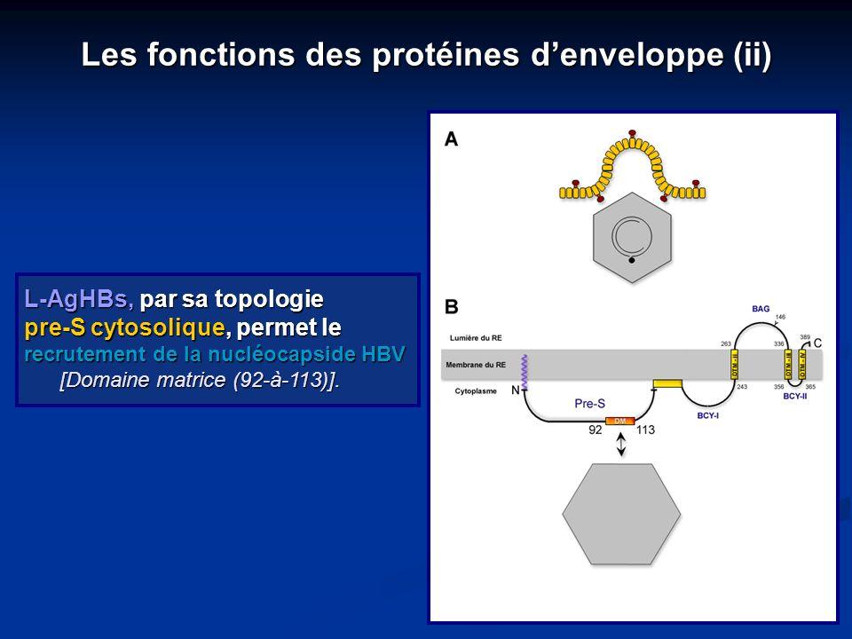 Les fonctions des protéines d'enveloppe (ii)