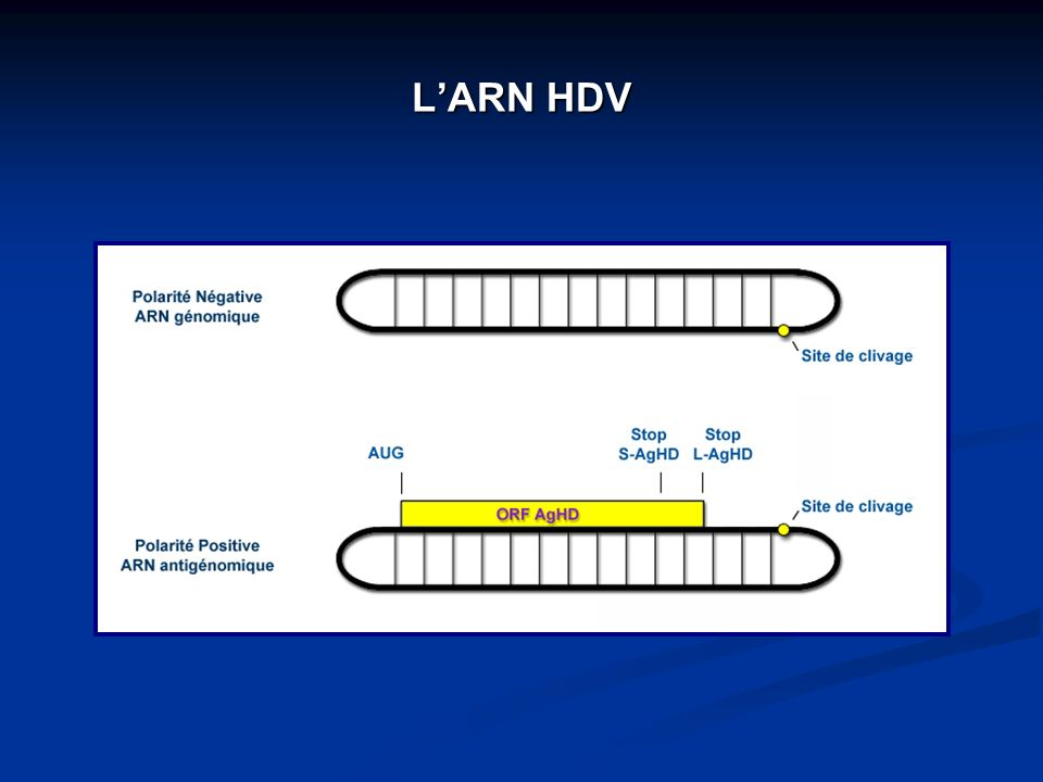 L'ARN HDV