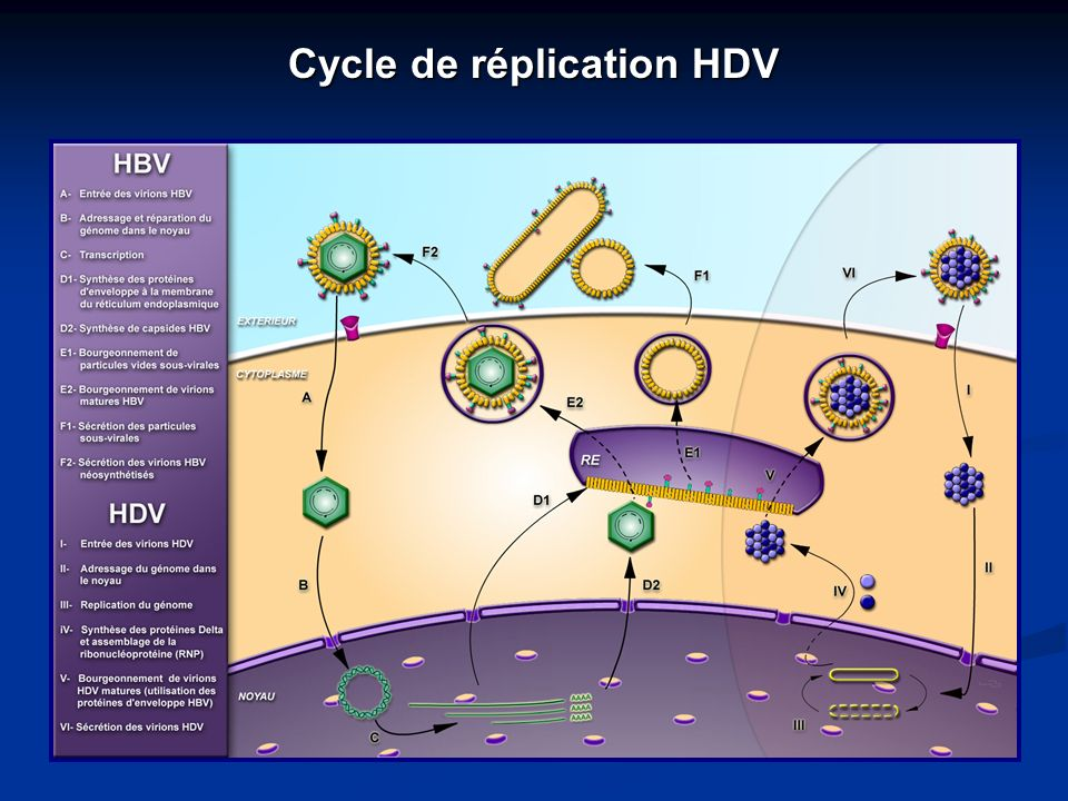 Cycle de réplication HDV