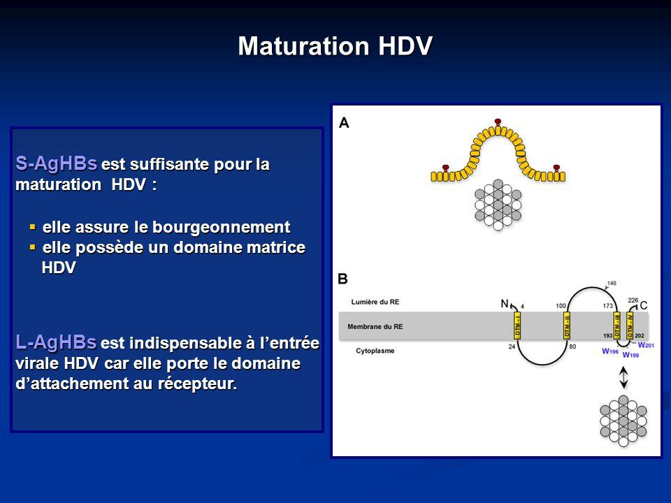 Maturation HDV S-AgHBs est suffisante pour la maturation HDV :