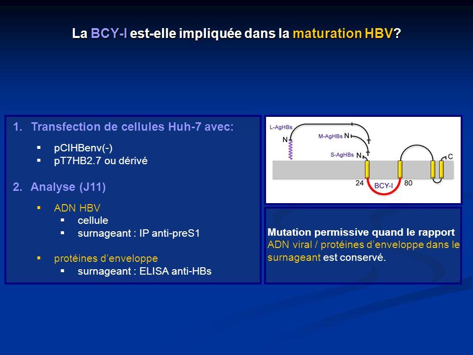 La BCY-I est-elle impliquée dans la maturation HBV