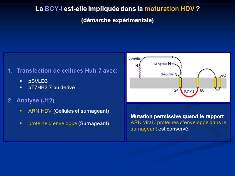 La BCY-I est-elle impliquée dans la maturation HDV