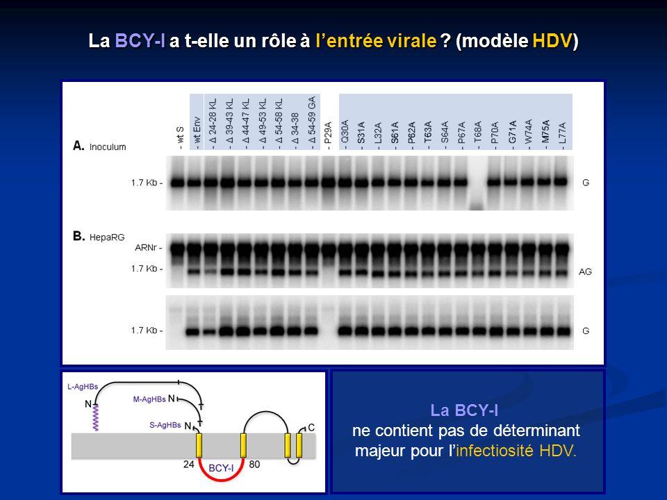 La BCY-I a t-elle un rôle à l'entrée virale (modèle HDV)