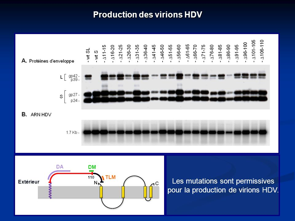Production des virions HDV