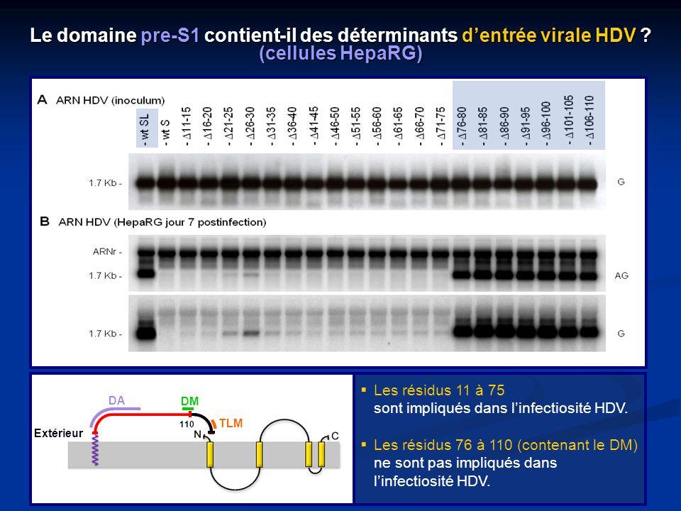 Le domaine pre-S1 contient-il des déterminants d'entrée virale HDV